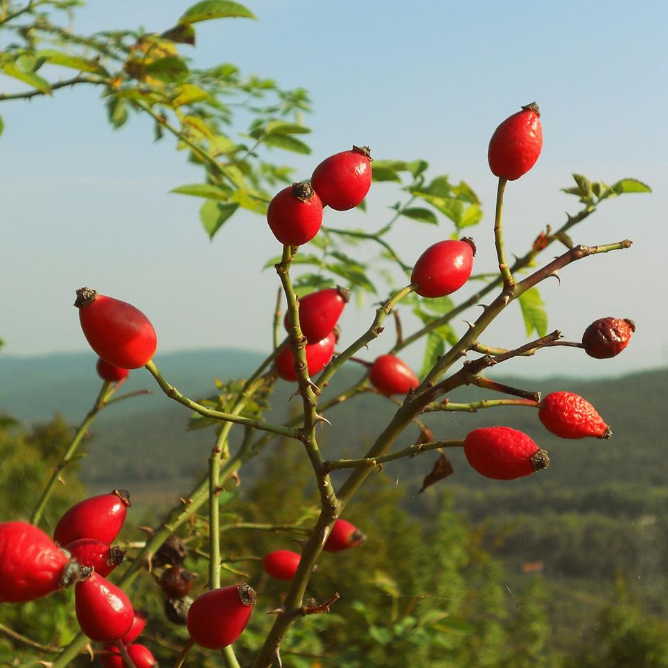Rose Hip Berries