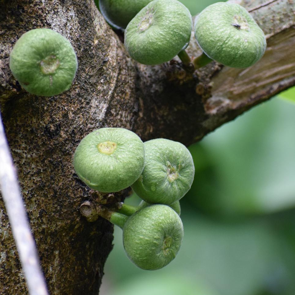 wild tree fruit